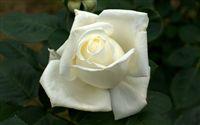 white-rose-wallpaper-1920x1200-00907_med